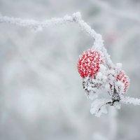 Мороз и шиповник :: Cергей Дмитриев