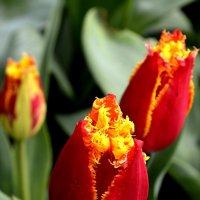 тюльпаны :: Александра Беляева