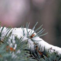 Иголки снегом не прикроешь... :: Ольга Голубева