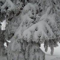 снежные лапы :: Ольга Шерстобитова