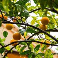 Январские апельсины :: Сергей Баклановский