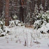Оснежились сосновые опушки... :: Лесо-Вед (Баранов)