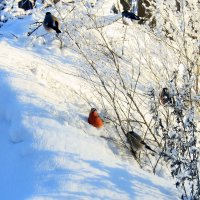 Снегири :: Наталия Зыбайло