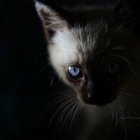 Тайская кошка :: Allex Anapa