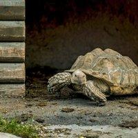 Большааая Черепаха :: Олег Савин