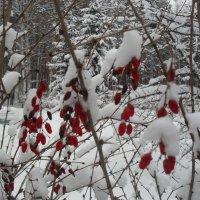 Барбарис зимой :: Анатолий