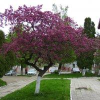 Цветущее  дерево  в  Ивано - Франковске :: Андрей  Васильевич Коляскин