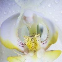 Орхидея :: Юля Колосова