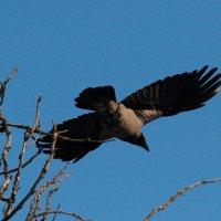 Черный ворон, что ж ты вьешься... :: Вячеслав Минаев