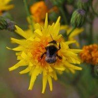 Шмель на жёлтом цветке :: Сергей Чиняев