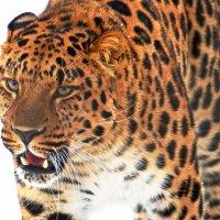Дальневосточный леопард (портрет ) :: Александр Запылёнов