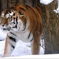 амурский тигр Устин :: Алёна Закатченко