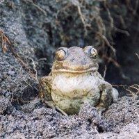 жаба :: лиана алексеева