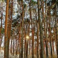 Утро в сосновом лесу :: Александр Смольников