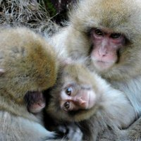 Снежные обезьяны парка Jigokudani :: Tatiana Belyatskaya