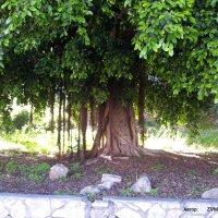 Дерево-баньян. :: Валерьян Запорожченко