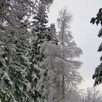 Зимний лес :: Светлана