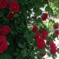 Вьющаяся роза :: Тамара