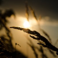 Солнце на колоске :: Александра Гальцева