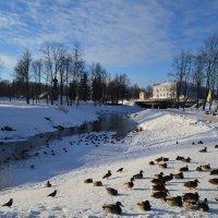 Утки зимой. :: zoja