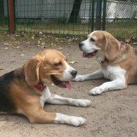 Адель и Мэри, мои бигли. :: Подруга Подруга