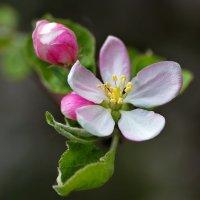 Цветущая яблоня :: Юрий Кольцов