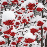 Рябина горит среди белых снегов. :: Мила Бовкун