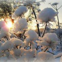 Борщевик в январе. :: Светлана Агапова
