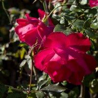 Розы :: Александр Деревяшкин