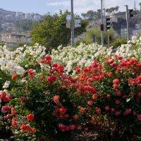 Розы белые и алые :: Александр Деревяшкин