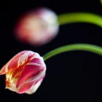 Тюльпаны :: Cepheus