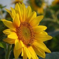 солнечный цветок :: Ольга Шарко