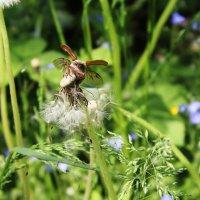 Майский жук :: Vlada Valko