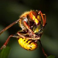 А на обед у этого монстра огромная навозная муха! :: Юрий Кольцов