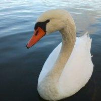 Лебедь :: Вини Пух