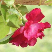 роза красная :: Тамара