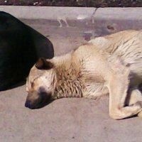 Две собаки - подружки :: Владимир Ростовский