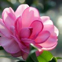 Словно роза :: Alexander Andronik