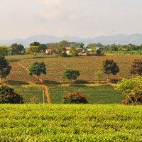 Чайные плантации . Вьетнам. :: Anna Petry