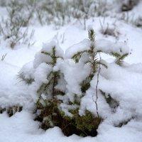 Маленькой елочке холодно зимой :: Светлана
