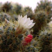 Цветок кактуса :: Александр Тарасенко