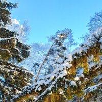 Елки зеленые :: Андрей Зайцев