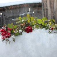 розы в снегу :: Елена