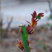 росток розы в январе..... :: Юрий Владимирович