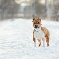 Морозный пес :: Jany Starostina