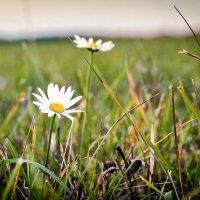 Ромашка, ромашка - цветок полевой... :: Дмитрий Стёпин