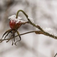 Зимний шиповник :: Aнна Зарубина