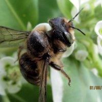 Дикая пчела :: Анатолий Мартынюк