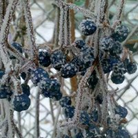 мороженый виноград :: Александр Прокудин