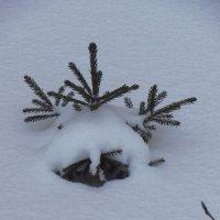 Маленькой елочке холодно зимой :: Андрей Лукьянов